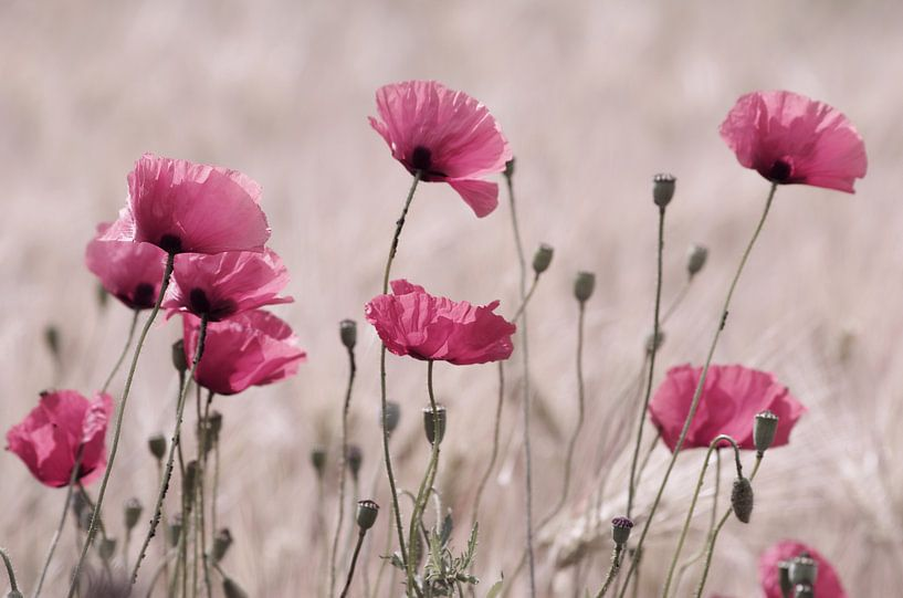 Pink Poppy zomerfoto van Tanja Riedel