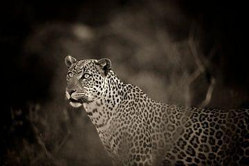 Leopard mit blauen Augen, monochrom, sepia, Samburu, Kenia, Afrika. von Louis en Astrid Drent Fotografie