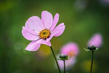 Rosa Blume von Clazien Boot