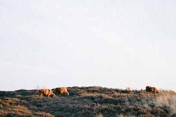 Schotse Hooglanders  von Rob Veldman