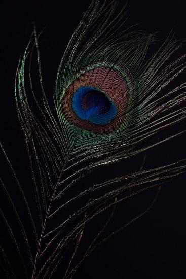 Pauwenveer met zwarte achtergrond