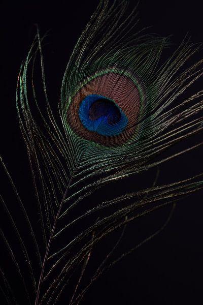 Pauwenveer met zwarte achtergrond van Steven Dijkshoorn