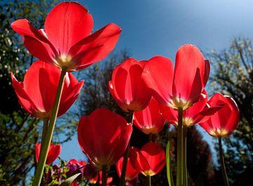 Rode tulpen van Corinne Welp