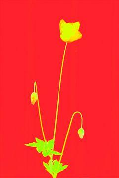 coquelicot de couleur primaire. sur Pieter van Roijen