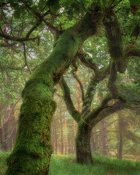 Prachtige boom op de Veluwezoom van Sander Grefte