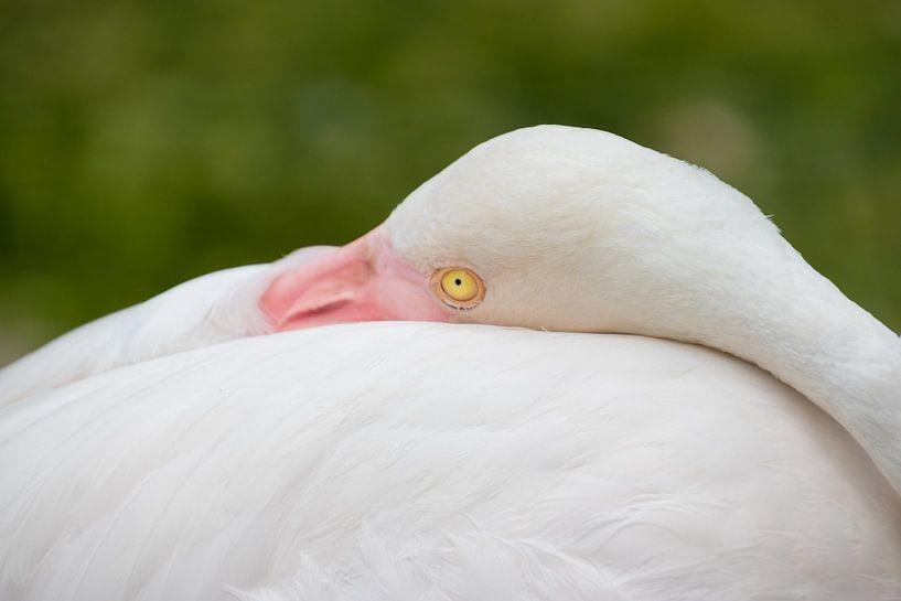 Ich beobachte dich - Flamingo von Thijs van den Broek