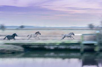 Konikpaarden in galop von