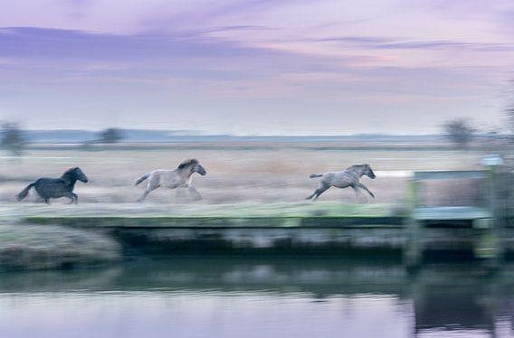 Konikpaarden in galop van Xander Haenen