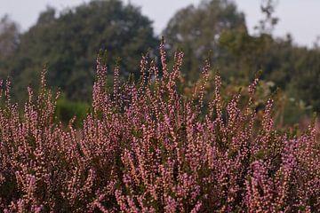 Prachtige paarse heide van Hannah Kuijt