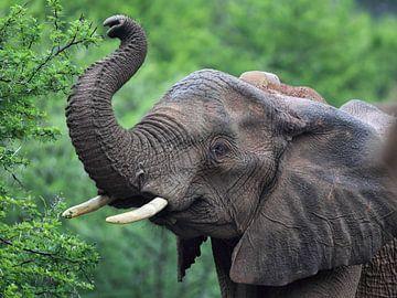 Afrikanischer Elefant (Loxodonta africana) von Dirk Rüter