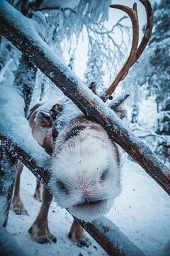 Rudolf het rendier van Abby's Voyage