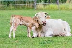 Kalf met moeder koe in weide