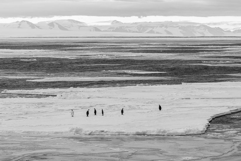 Keizerspinguins op ijschot in McMurdosound van Eefke Smets