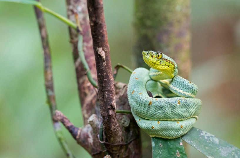 Un serpent à pointe de lance reposant sur une feuille dans la forêt tropicale brésilienne. sur Thijs van den Burg
