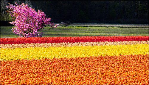 oranje geel rood tulpenveld
