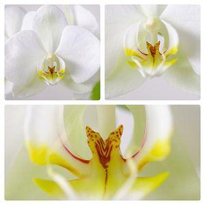 Orchidee 3 luik