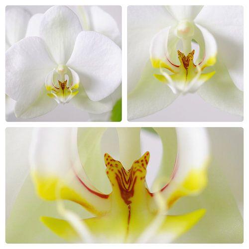 Orchidee 3 luik van