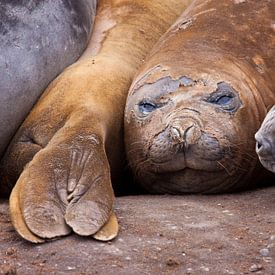 zeeolifant van Anna Pors