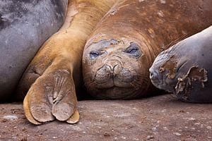 zeeolifant van