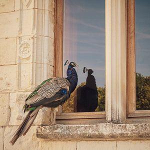 Weerspiegeling van trotse pauw in vensterglas van