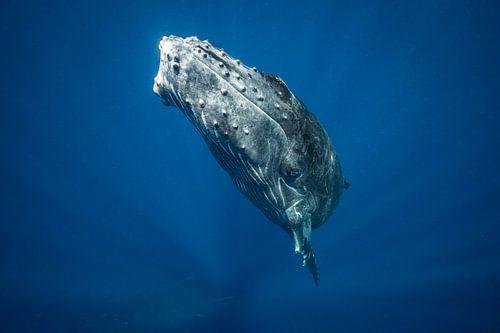 A humpback whale calf surfacing from the deep below van