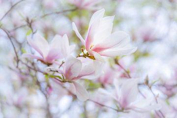 Magnolia-bloemen van Daniela Beyer