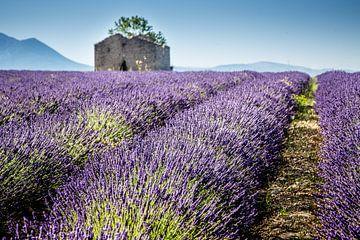 Lavendel von Marion van Egmond