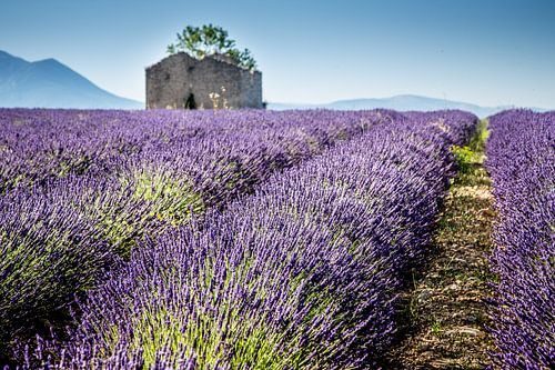 Lavendel van Marion van Egmond