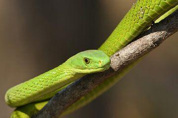 Smalkopmamba (Dendroaspis angusticeps) van