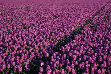 Tulpen zover je kijken kan - deel 1 van Miranda Rens