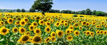 Veld met zonnebloemen van Corinne Welp