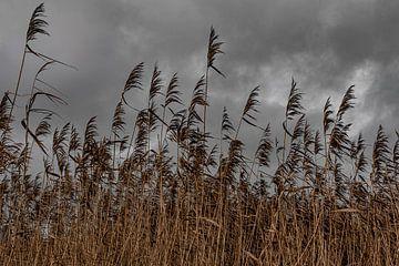 Sombere rietkraag onder donkere wolkenlucht van Thijs van Laarhoven