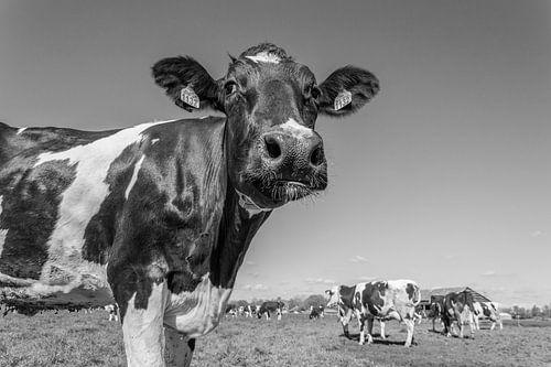 Koeien voor het eerst in de wei Zwart/Wit 2