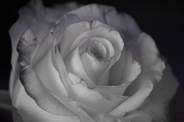 Weiße Rose von Groothuizen Foto Art