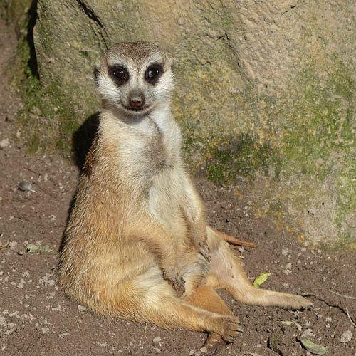 Sitting Meerkat van Ralf Schroeer