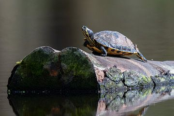 Schildpad op boomstronk van Dennis Bresser