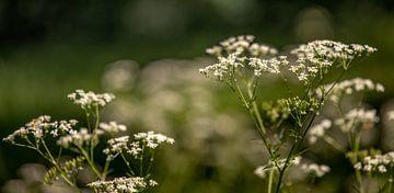 Nahaufnahme Pfeifenkraut Blumenfeld 2 von Percy's fotografie