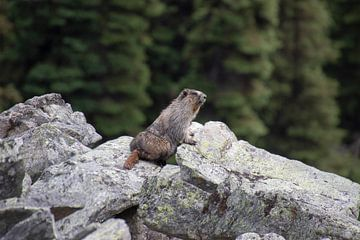 Biber in Kanada Rocky Mountains von Joost Winkens