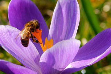 Vielbeschäftigte Biene auf violettem Krokus von Natascha Teubl