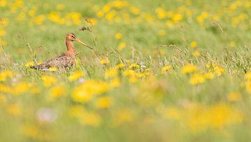 Vögel der Uferschnepfe auf einer Wiese zwischen den Löwenzähnen 1 von Servan Ott