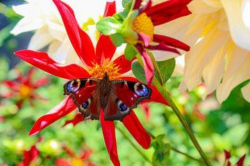 Schmetterling auf Dahlie Blume von Linda Herfs