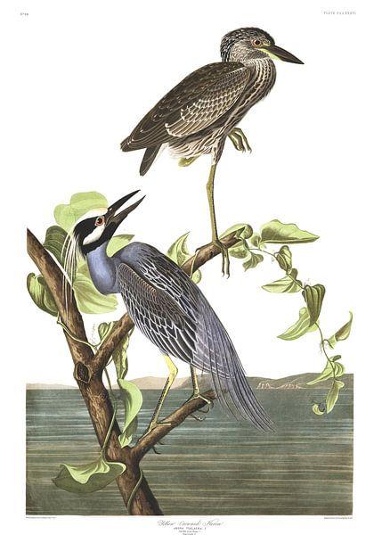 Geelkruinkwak van Birds of America