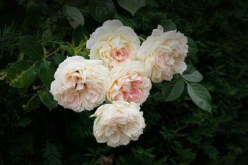 English Roses sur