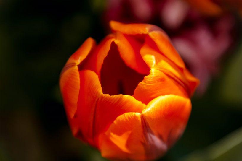 Close-up van een oranje tulp van Koop je Canvas