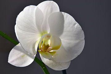 Witte orchidee van Ingrid Bargeman