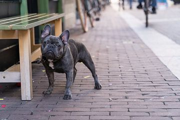 Portret van een Franse Bulldog naast een bankje in een winkelstraat van Leoniek van der Vliet