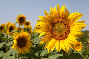 zonnebloem van Hermen Buurman