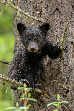 Junger Schwarzbär von Menno Schaefer