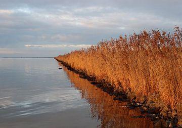 Gouden riet langs het water van Lynlabiephotography