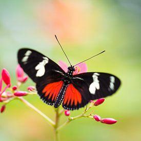 Vlinder Heliconius dora von Ralf Linckens
